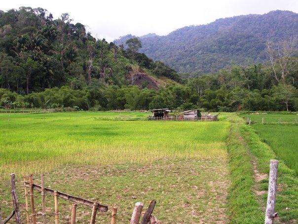 Penanaman Padi pekerjaan utama penduduk Lun Bawang