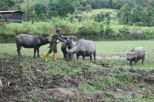 Menternak kerbau sangat sesuai di Long Semadoh