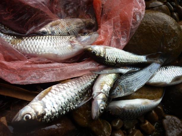 Ikan disungai semakin kurang akibat pencemaran dari aktiviti pembalakan