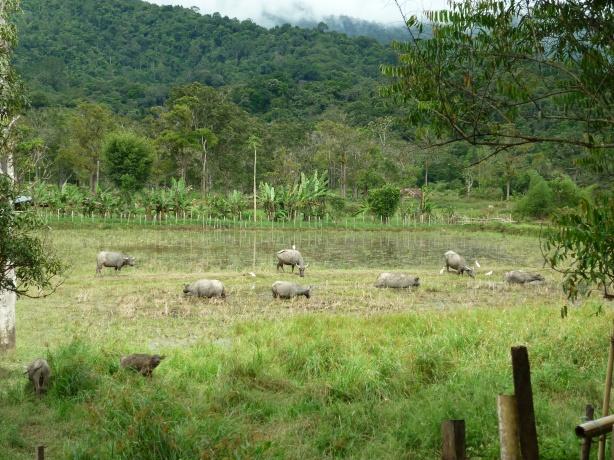 Pertanian dan Penternakan adalah sumber pendapatan utama penduduk Long Semadoh